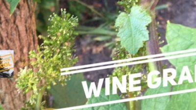 Wine Grapes updated!