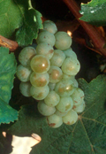 riesling-b-grappe-